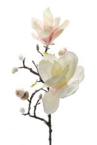 Mr Plant magnolia